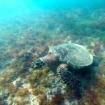 Tartaruga marinha registrada por Beto Noval em Fernando de Noronha