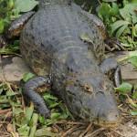 Foto que tiramos de um jacaré as margens do rio, no Pantanal - SESC Porto Cercado